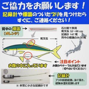 標識放流:新潟 – 標識のついたブリの買い取り