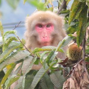 猿まみれ 〜栗と猿〜