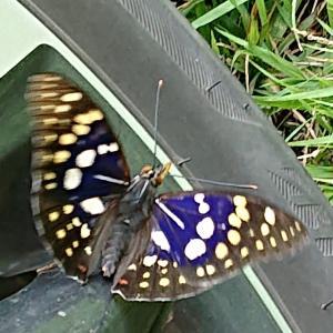 国蝶・野生のオオムラサキ/網戸にノコギリクワガタ/その他生き物