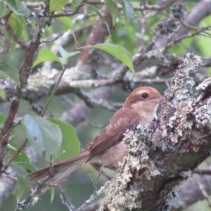 茶色い小鳥