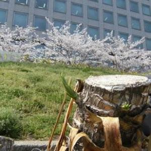 20200402桜散歩つづきユッカ
