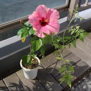 20210724鉢植えの花