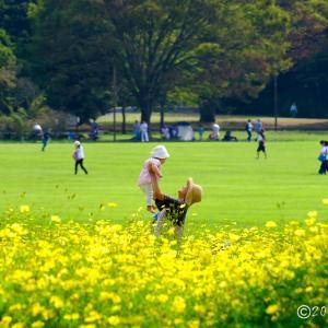 昭和記念公園 ~コスモス畑
