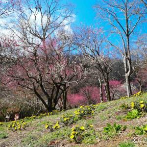 武蔵丘陵森林公園 ~梅林に咲く福寿草