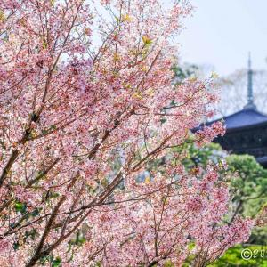 椿山荘 ~さくら