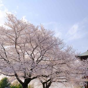 西福寺 ~さくら