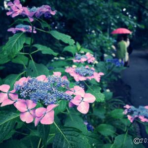 散歩写真 ~紫陽花