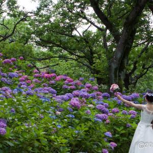 郷土の森博物館 ~紫陽花Ⅱ