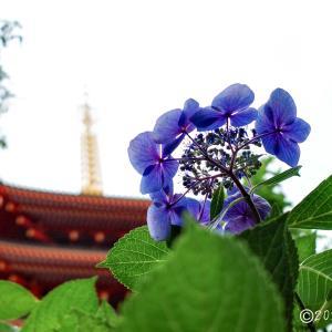 高幡不動尊 ~境内に咲く紫陽花