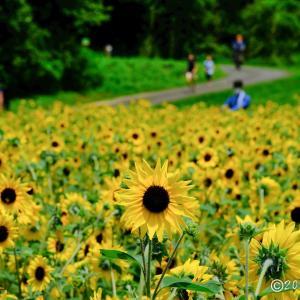 武蔵丘陵森林公園 ~ひまわり畑
