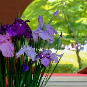 鎌倉明月院の花しょうぶ