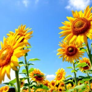 夏の風物詩・向日葵の花言葉とは!?色で変わるイメージをご紹介