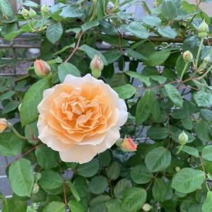 【Stay home】ゴールデンウィークはバラの季節の始まり