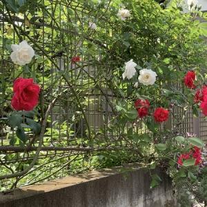 【Stay home】バラの季節もそろそろ終わり