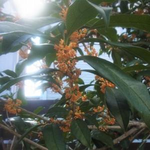 深まる秋~金木犀の香り
