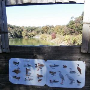 岩本池の野鳥・ミコアイサ&カンムリカイツブリ