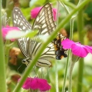 アゲハチョウと花