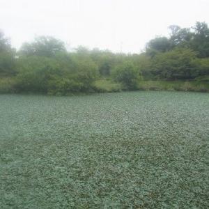 杁ヶ池公園の水草とアオサギ