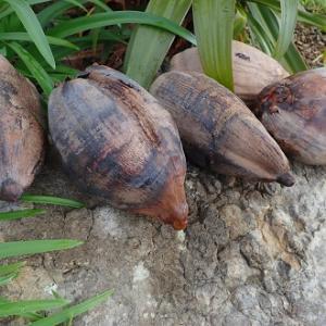 庭のココナツ その後