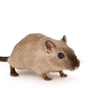世界初!広島大が鼠の産み分け方法を発見!海外ニュースで英語を学ぶ