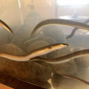 四万十鰻をリーズナブルに食べよう!さこや@高知県