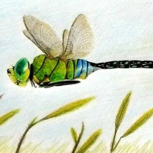 飛ぶスジボソギンヤンマ♂(絵)+クロスジの様子