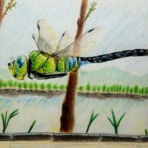 飛ぶスジボソギンヤンマ(絵)