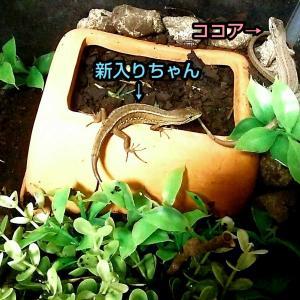★3匹目のカナヘビ★