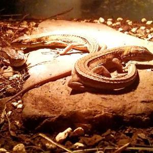 ◆カナヘビの様子◆