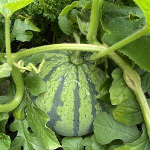 【北海道の家庭菜園】今日は野菜(831)の日~成長記録2020年8月編🍉