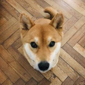 ふわふわ白米とおかず/犬ってヴィーガンになれるの?