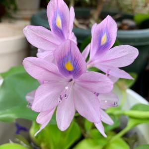 ホテイアオイの花…