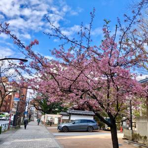 河津桜 満開  池袋・要町・祥雲寺