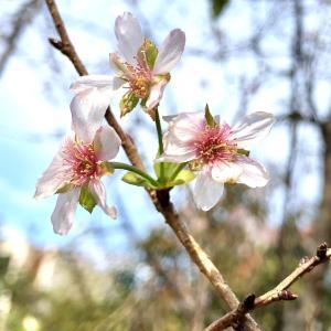 おとめ山公園10月桜