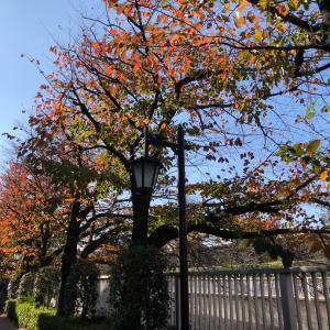 【動画あり】神田川桜並木の紅葉