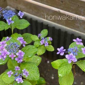 頑張って咲いた紫陽花&ガーナえびせん