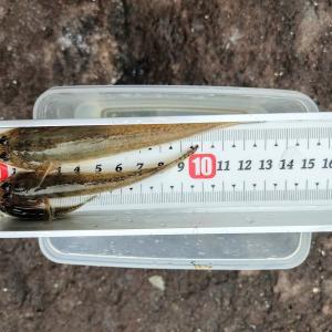 2020年08回目のハゼ釣りは、釣れな過ぎてアタフタ。