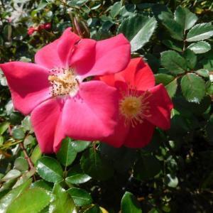赤い花といつもの白い花