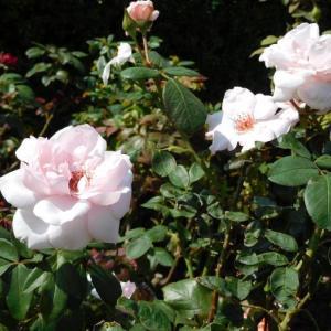 ピンクの薔薇とオレンジの花