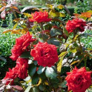 赤い薔薇と白い薔薇とピンクの薔薇です