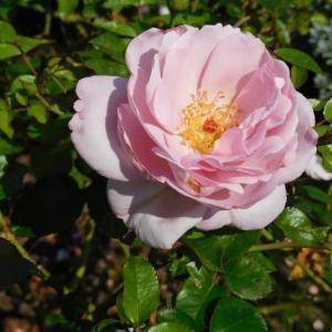 ピンクの薔薇二輪