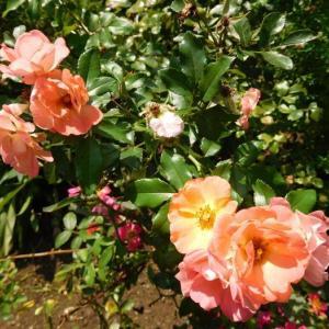 オレンジの花と紫っぽい薔薇