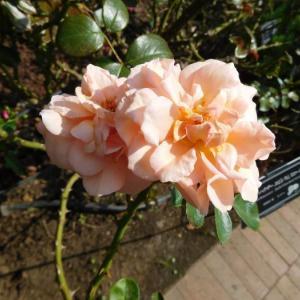 ピンクの薔薇二種類