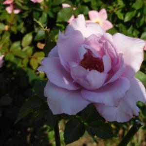 紫の薔薇とピンクの花
