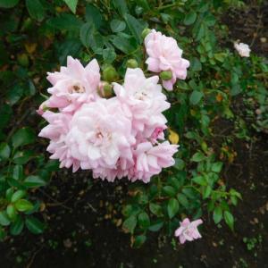 ピンクの花とフリージア