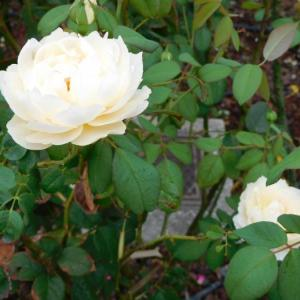 白い薔薇とピンクの花