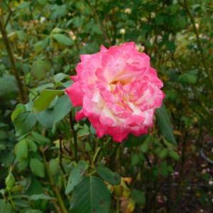 赤いグラデーションの薔薇とピンクの可愛い花