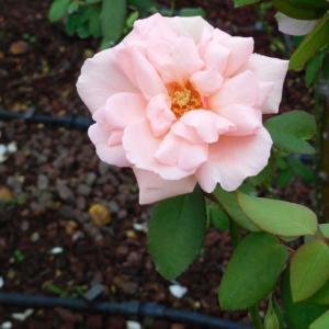 白い花と白い薔薇
