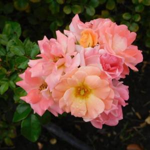 ピンクの花二枚