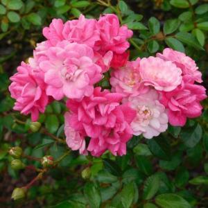 ピンクの綺麗な花と薔薇